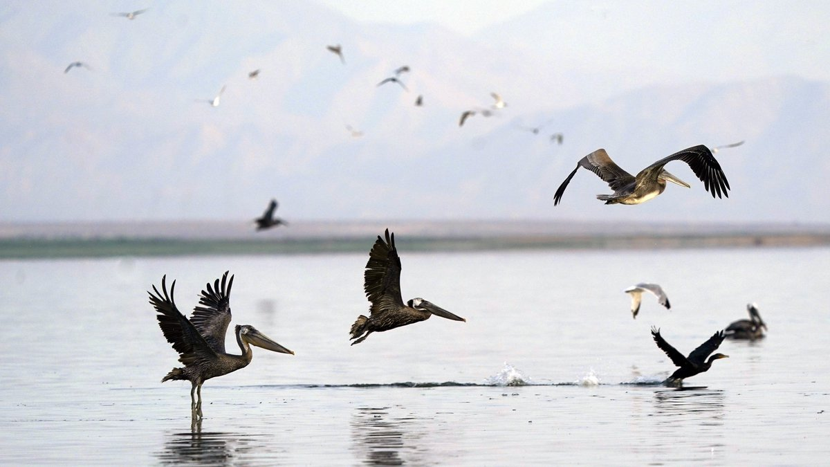 FILE - In this July 15, 2021 file photo, pelicans take flight in the Salton Sea on the Sonny...