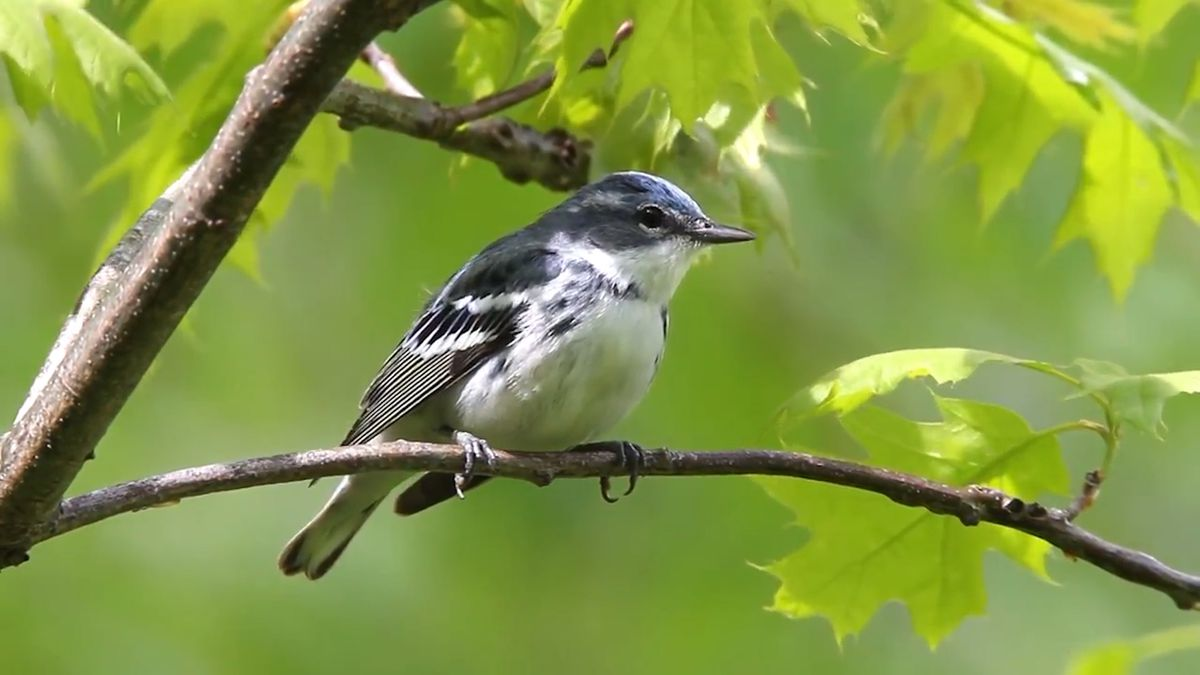 Experts say North American birds are disappearing (Source: American Bird Conservancy)